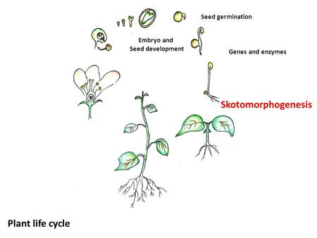 Skotomorphogenesis Seed germination Genes and enzymes Embryo and Seed development Plant life cycle.