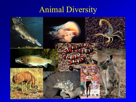 Animal Diversity. What is an Animal? Animal Characteristics –Eukaryotic –Multicellular –Heterotrophic –Lack cell walls Unique combination.