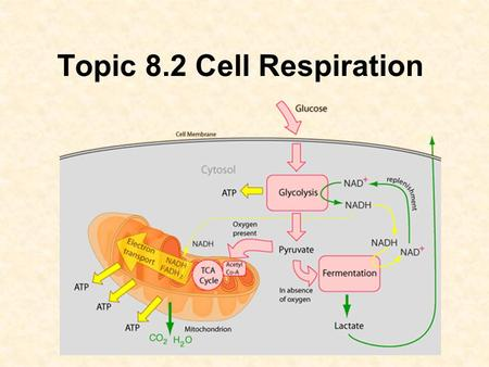 Topic 8.2 Cell Respiration. 8.2 (U1) Cell respiration involves the oxidation and reduction of compounds. As organic molecules are broken down during catabolic.