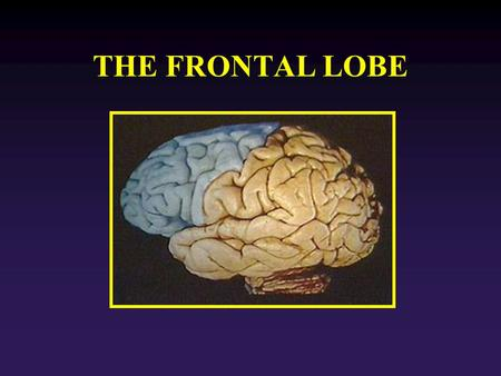 THE FRONTAL LOBE. v FL Function: It is the end point for the visuomotor and object- recognition functions. The frontal lobe selects behaviors with respect.