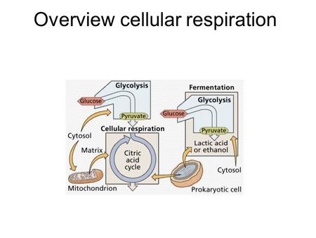 Overview cellular respiration. Catabolic Pathways Recall this is breaking down of complex molecules 2 types of pathways: –Fermentation – partial pathway.