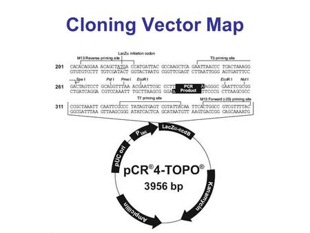 Cloning Vector Map. Vector Characteristics Contains a T-overhang Linked topoisomerase Topoisomerase.