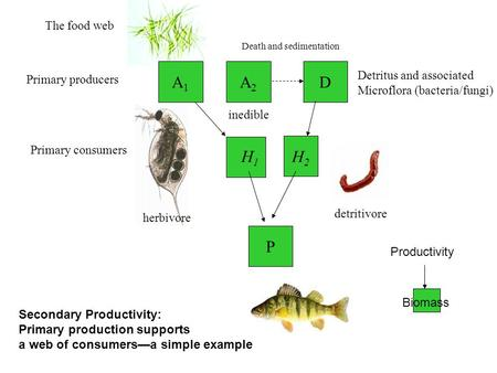 A2A2 H1H1 H2H2 The food web Primary producers Primary consumers D Detritus and associated Microflora (bacteria/fungi) P Death and sedimentation herbivore.