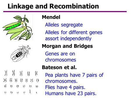 Linkage and Recombination Genes are on chromosomes Alleles segregate Alleles for different genes assort independently Pea plants have 7 pairs of chromosomes.