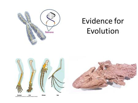 Evidence for Evolution. Agree or Disagree? Evolution occurs in short periods of rapid change in species and is separated by periods of little or no change.