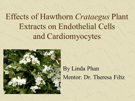 Effects of Hawthorn Crataegus Plant Extracts on Endothelial Cells and Cardiomyocytes By Linda Phan Mentor: Dr. Theresa Filtz.