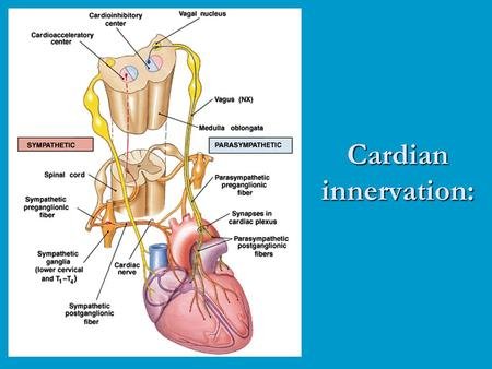 Cardian innervation:. Pacemaker regulation: Once the pacemaker cells reach threshold, the magnitude and duration of the AP is always the same. In order.