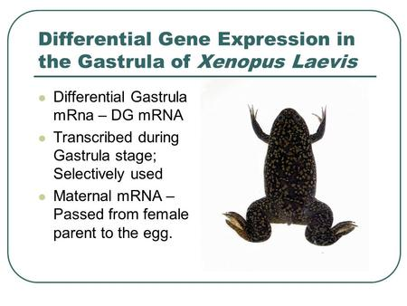 Differential Gene Expression in the Gastrula of Xenopus Laevis Differential Gastrula mRna – DG mRNA Transcribed during Gastrula stage; Selectively used.