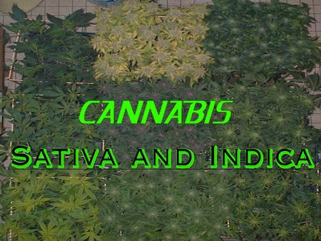 Fat Leaves and Short Bush = INDICA Thin Leaves and Tall Bush = SATIVA Indica....higher CBD than THC equals heavier, sleepy type of high. Yield is usually.