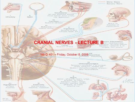 CRANIAL NERVES - LECTURE B