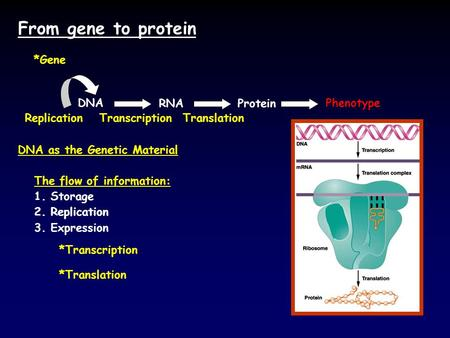 From gene to protein DNAPhenotype RNA ReplicationTranscription *Transcription Translation *Translation *Gene The flow of information: 1. Storage 2. Replication.