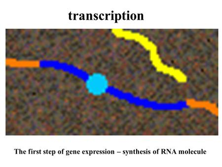 Transcription The first step of gene expression – synthesis of RNA molecule.
