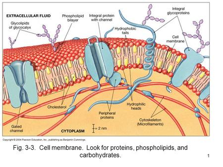 1 Fig. 3-3. Cell membrane. Look for proteins, phospholipids, and carbohydrates.