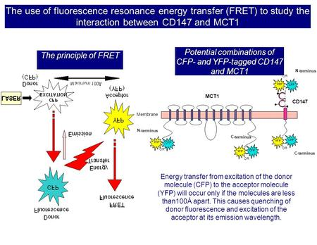 The use of fluorescence resonance energy transfer (FRET) to study the interaction between CD147 and MCT1 The principle of FRET MCT1 CD147 s s s s N- terminus.