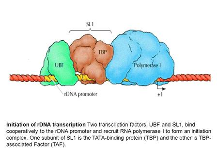 Initiation of rDNA transcription Two transcription factors, UBF and SL1, bind cooperatively to the rDNA promoter and recruit RNA polymerase I to form an.