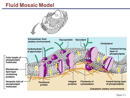 Fluid Mosaic Model Figure 3.3. Functions of Membrane Proteins  Transport  Enzymatic activity  Receptors for signal transduction Figure 3.4.1.