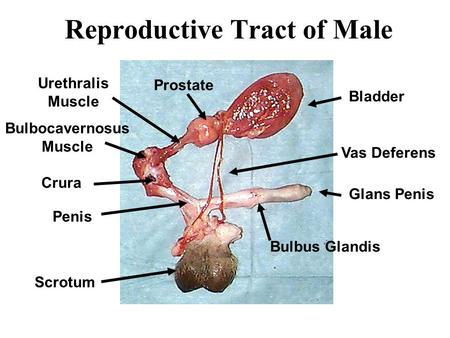 Reproductive Tract of Male