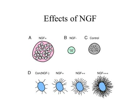 Effects of NGF. Developmental processes during which apoptosis can occur.