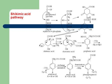 Shikimic acid pathway. Shikimates Benzoic acid and related compounds (C6-C1) Acetophenones and related compounds (C6-C2) Shikimates are simple aromatic.