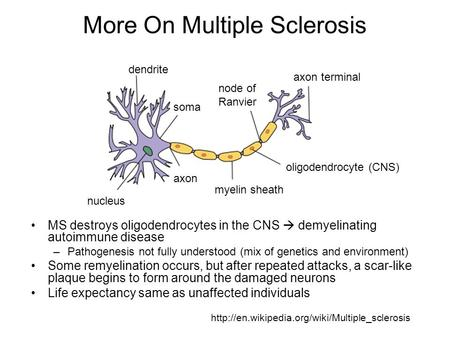 More On Multiple Sclerosis MS destroys oligodendrocytes in the CNS  demyelinating autoimmune disease –Pathogenesis not fully understood (mix of genetics.