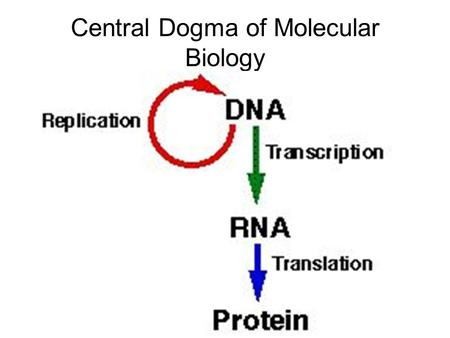 Central Dogma of Molecular Biology. Gene Expression How does a cell control the timing and choice of synthesizing a particular protein? A gene is expressed.