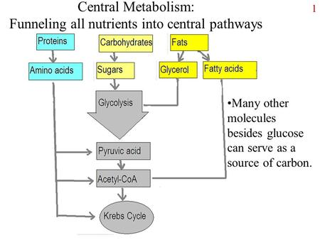 1 Central Metabolism: Funneling all nutrients into central pathways Many other molecules besides glucose can serve as a source of carbon.