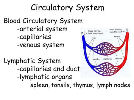 Circulatory System Blood Circulatory System -arterial system -capillaries -venous system Lymphatic System -capillaries and ducts -lymphatic organs spleen,