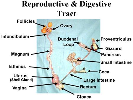 Reproductive & Digestive Tract Ovary Follicles Infundibulum Magnum Isthmus Uterus Cloaca Vagina Gizzard Duodenal Loop Pancreas Proventriculus Small Intestine.