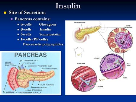 Insulin Site of Secretion: Site of Secretion: Pancreas contains: Pancreas contains:  -cells Glucagons  -cells Glucagons  -cells Insulin  -cells Insulin.