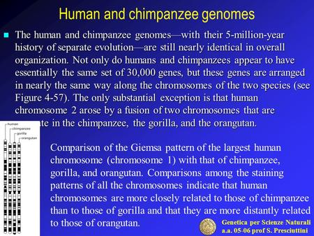 Genetica per Scienze Naturali a.a. 05-06 prof S. Presciuttini Human and chimpanzee genomes The human and chimpanzee genomes—with their 5-million-year history.