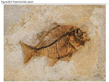 Figure 25.0 Fossil of a fish: perch. Figure 25.1 A gallery of fossils.