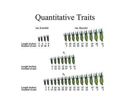 Quantitative Traits. Quantitative Traits Distribution of Corn Ear Lengths.