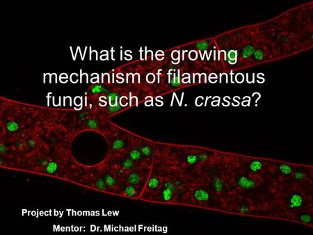 What is the growing mechanism of filamentous fungi, such as N. crassa? Project by Thomas Lew Mentor: Dr. Michael Freitag.
