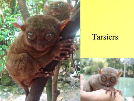 Tarsiers. Fast Facts Genus Tarsius, 9 species Longest continuous fossil record of any primate genus 45 million years Small animals with enormous eyes.
