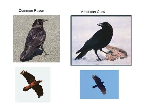 Common Raven American Crow. Pygmy NuthatchMountain Chickadee.