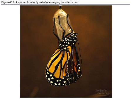 Figure 45.0 A monarch butterfly just after emerging from its cocoon