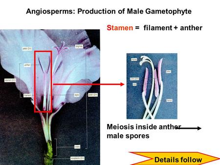 Angiosperms: Production of Male Gametophyte