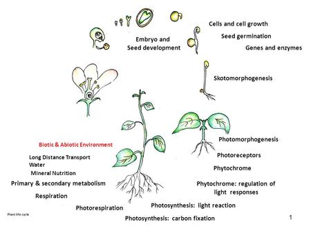 Phytochrome: regulation of