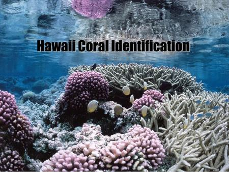 Hawaii Coral Identification. Stony Corals- hermatypic Phylum Cnidaria Class Anthozoa Subclass Hexacorallia Subclass Hexacorallia Order Scleractinia Family.