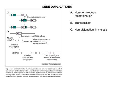 GENE DUPLICATIONS A.Non-homologous recombination B.Transposition C.Non-disjunction in meiosis.