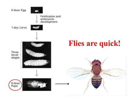 Flies are quick!. The fly body plan: each segment has a unique identity and produces distinctive structures 3 head 3 thorax 8 abdomen.