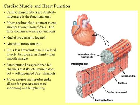 Cardiac Muscle and Heart Function Cardiac muscle fibers are striated – sarcomere is the functional unit Fibers are branched; connect to one another at.