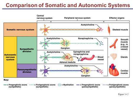 Comparison of Somatic and Autonomic Systems Figure 14.2.