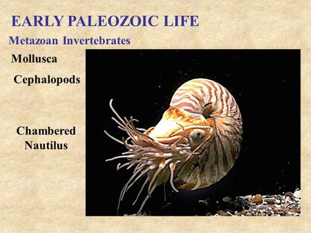 EARLY PALEOZOIC LIFE Metazoan Invertebrates Mollusca Cephalopods Chambered Nautilus.