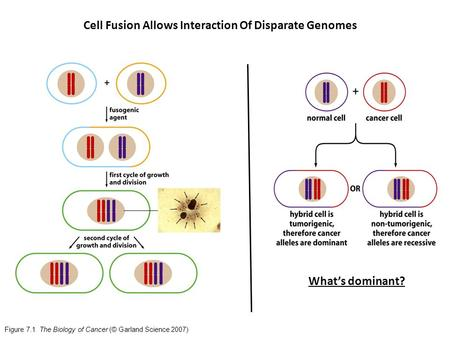 Figure 7.1 The Biology of Cancer (© Garland Science 2007) What's dominant? Cell Fusion Allows Interaction Of Disparate Genomes.