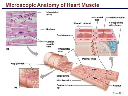 Microscopic Anatomy of Heart Muscle