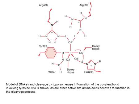 Model of DNA strand cleavage by topoisomerase I