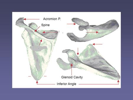 Acromion P. Spine Inferior Angle Glenoid Cavity. Position of his scapula? Upward Rotation.