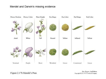 Figure 2.17b Mendel's Peas Our Origins, 2nd Edition Copyright © 2011 W.W. Norton & Company Mendel and Darwin's missing evidence.