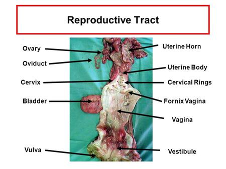Reproductive Tract Uterine Horn Ovary Oviduct Uterine Body Cervix